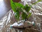 Les plantes de mon nouvel aquarium meurent !! Mini_ensachage_microsorium