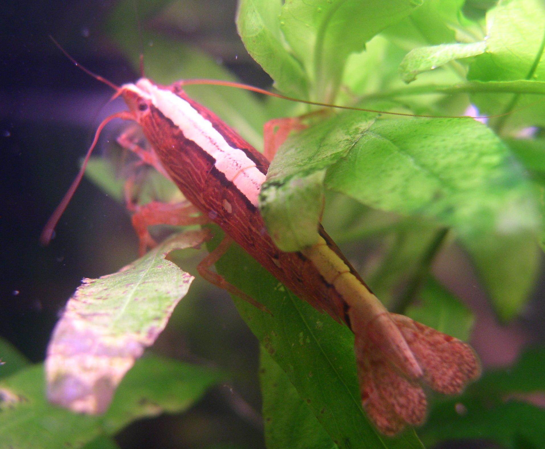 Demande de renseignements pour maintenance de crevettes sur sol technique Atyopis_moluccensis_112005_1