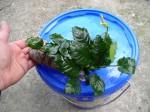 Les plantes de mon nouvel aquarium meurent !! Mini_anubia_ensachee