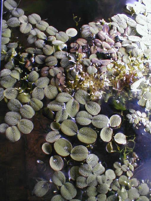 Demande de renseignements pour maintenance de crevettes sur sol technique Salvinia_auriculata